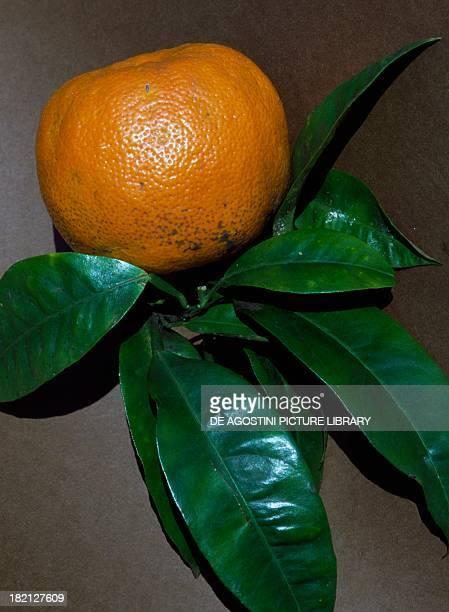 Bitter Orange or Melalgolo , Rutaceae.