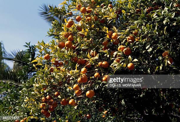 Bitter orange or Seville orange , Rutaceae.