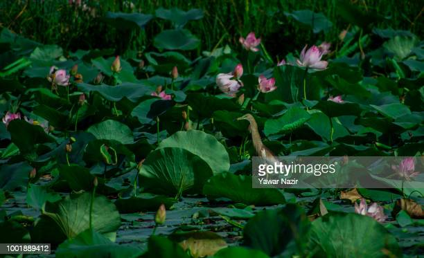 A bittern bird rests on the lotus leaves at Dal lake on July 19 2018 in Srinagar the summer capital of Indian administered Kashmir India Kashmir the...