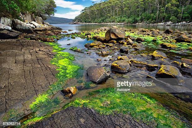 Bivouac Bay at low tide with Sea lettuce, Ulva australis). Tasman National Park, Tasman Peninsula, Tasmania, Australia.