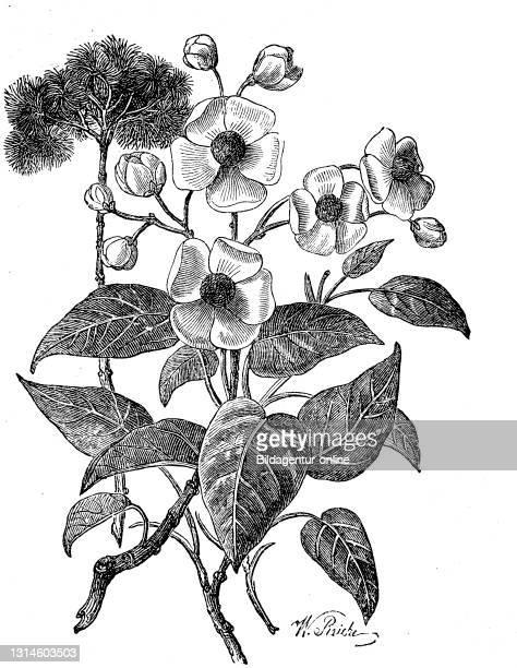 Bixa orellana, Achiote, is a shrub native to a region between northern South America and Mexico / Annattostrauch, Bixa orellana, ist eine Pflanzenart...