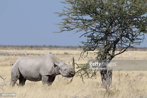 Blach rhino eating bush