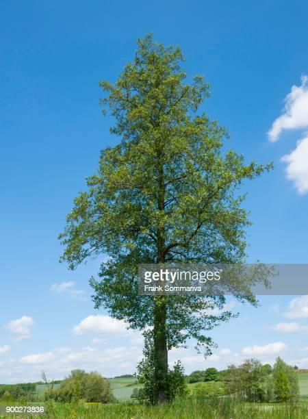 Black alder (Alnus glutinosa), Bavaria, Germany