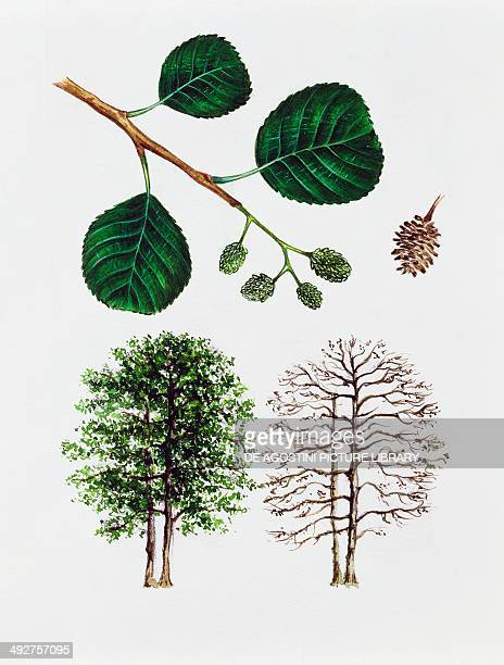 Black alder European alder or Common alder Betulaceae tree with and without foliage leaves flowers and fruit illustration