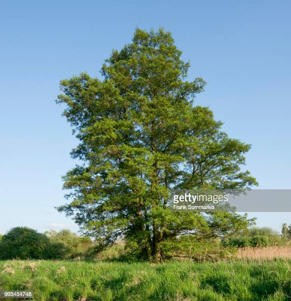 black alder or common alder (alnus glutinosa), droemling nature reserve, lower saxony, germany - erle stock-fotos und bilder
