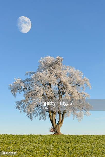 Black alderan alder (Alnus glutinosa) covered with hoarfrost, moon, Swabian Alps, Baden-Wuerttemberg, Germany, composing