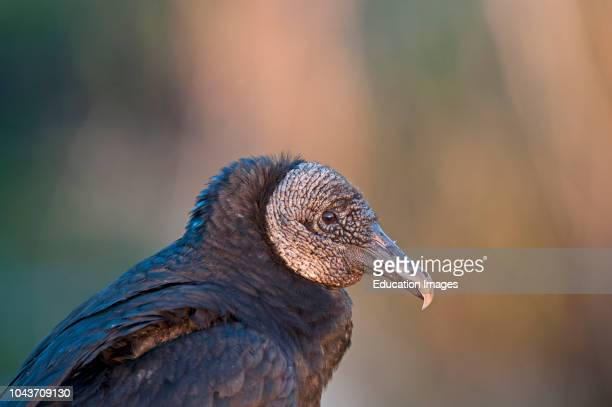Black American Vulture Coragyps atratus Anhinga Trail Florida