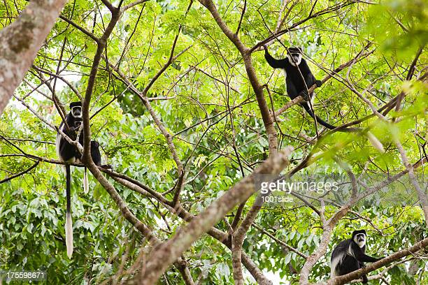 Black & White Colobus on the tree