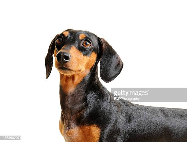 Black and Brown Dachshund Dog Isolated on white