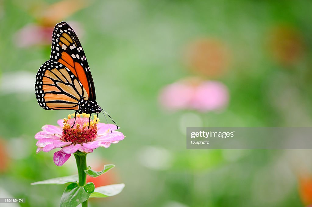 Black and brown monarch butterfly on a pink zinnia flower : Stock Photo