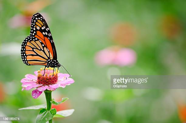 Black and brown monarch butterfly on a pink zinnia flower