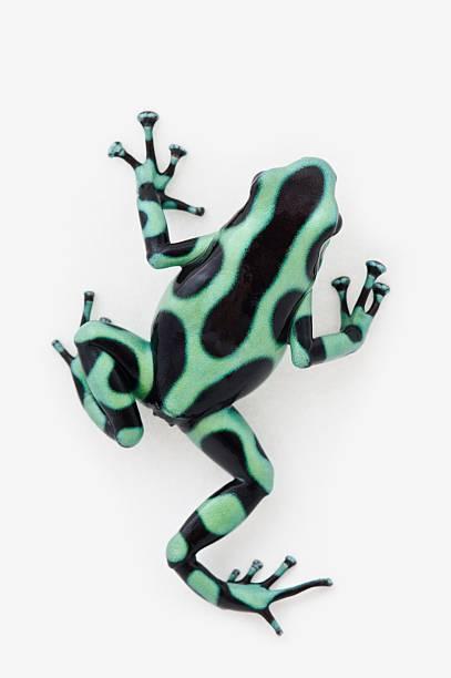 black and green poison dart frog (dendrobates auratus)