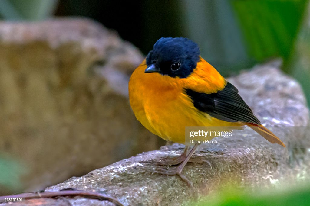 Black and orange flycatcher (Ficedula nigrorufa) : Stock Photo