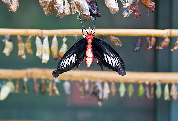 Black and red butterfly in front of chrysalises