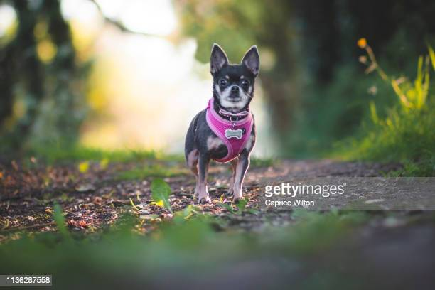 black and tan chihuahua in a forest - coonhound stock pictures, royalty-free photos & images