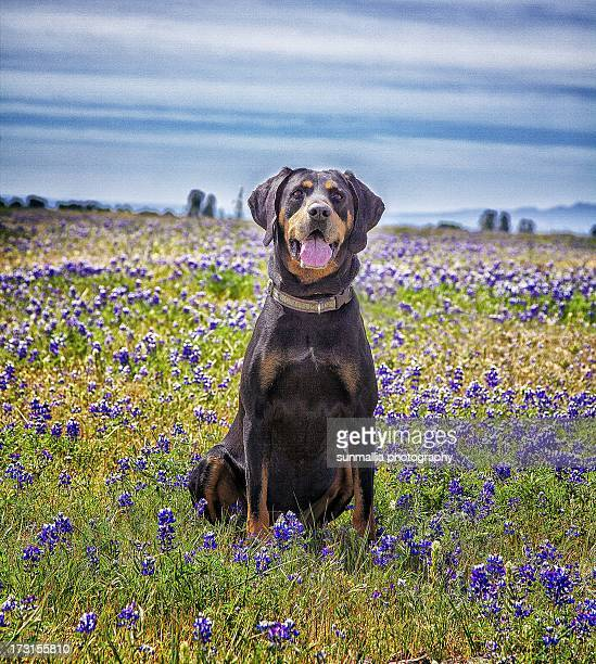 black and tan coonhound in field of flowers - coonhound stock pictures, royalty-free photos & images