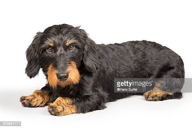Wire Haired Dachshund Stock Pictures