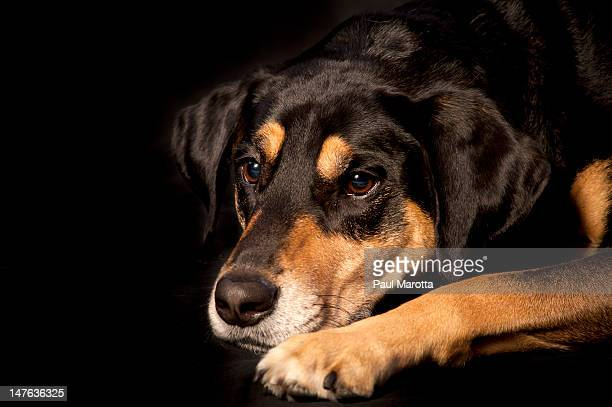 black and tan dog pouting - coonhound stock pictures, royalty-free photos & images
