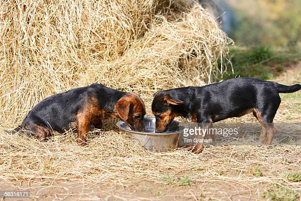 Black and tan Jack Russell puppies drink from a big water bowl England United Kingdom