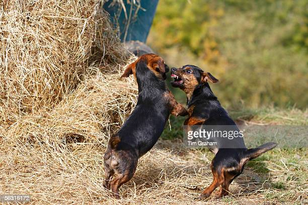 Black and tan Jack Russell puppies fighting on a bed of hay, England, United Kingdom.
