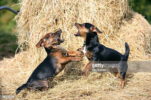 Black and tan Jack Russell puppies fighting on a bed of hay England United Kingdom
