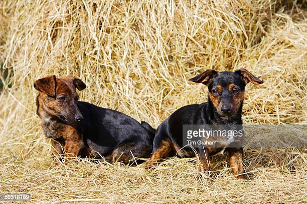 Black and tan Jack Russell puppies playing in a bed of hay, England, United Kingdom.