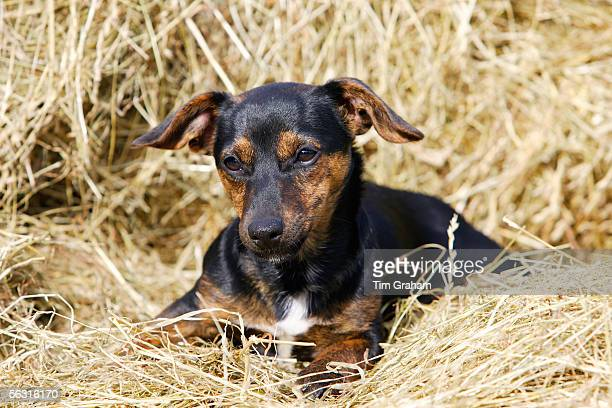 Black and tan Jack Russell puppy lying in a bed of hay, England, United Kingdom.