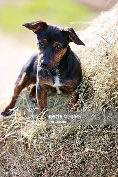 Black and tan Jack Russell puppy lying on a bed of hay, England, United Kingdom.