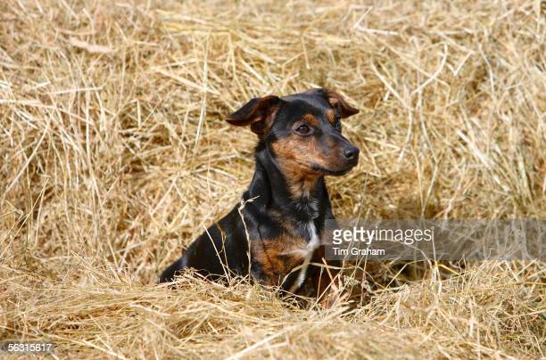Black and tan Jack Russell puppy playing in a bed of hay, England, United Kingdom.