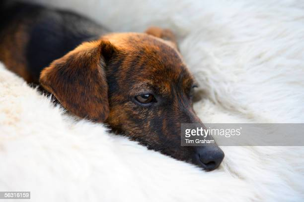 Black and tan Jack Russell terrier pedigree puppy lying in his bed, England, United Kingdom.