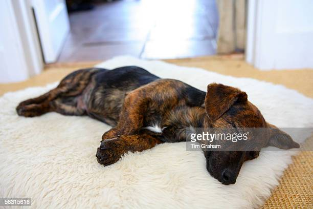Black and tan Jack Russell terrier pedigree puppy sleeping in his bed, England, United Kingdom.