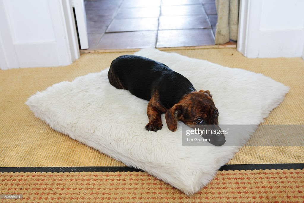 Black and tan Jack Russell terrier pedigree puppy sleeping on his bed, England, United Kingdom : News Photo