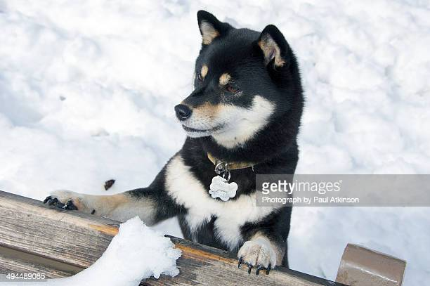 black and tan shiba inu dog in snow - shiba inu winter stock pictures, royalty-free photos & images