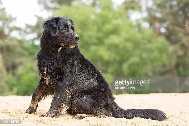 A Black and Wet Labrador.