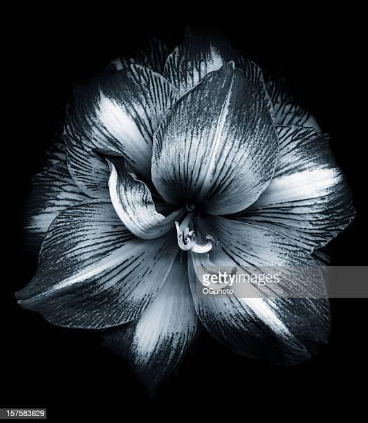 bianco e nero fiore di amaryllis - ogphoto foto e immagini stock