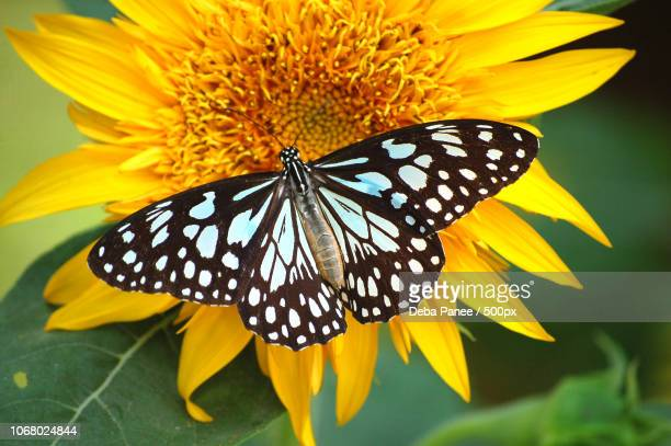 black and white butterfly perching on yellow wildflower - yellow perch stock photos and pictures