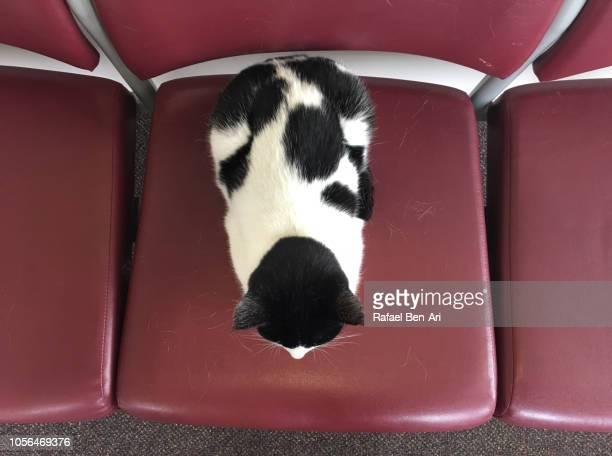 black and white cat on a red chair - rafael ben ari fotografías e imágenes de stock