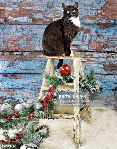 Black and white cat on Christmas ladder