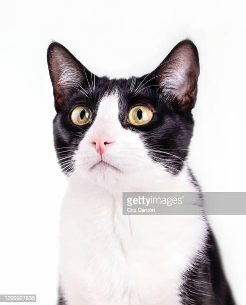 black and white cat on white background - cris cantón photography fotografías e imágenes de stock