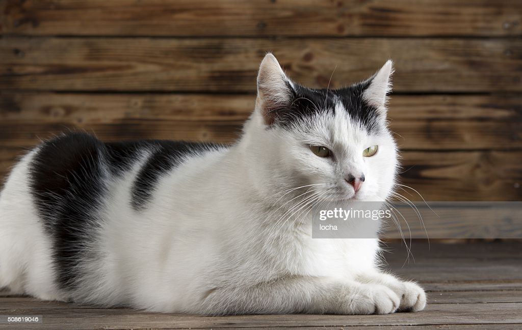 black and white cat : Stock Photo