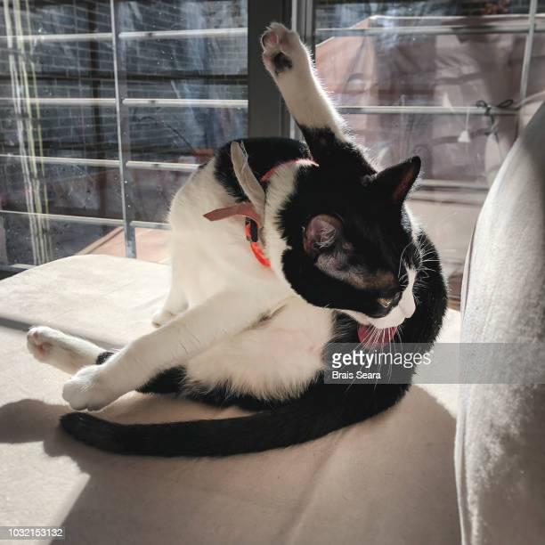 black and white cat preening - tierisches verhalten stock-fotos und bilder
