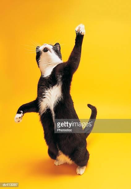 Black and white cat reaching upwards