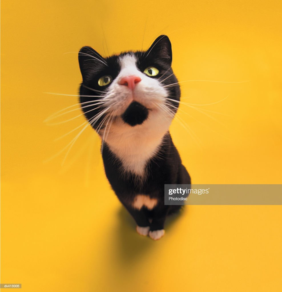 Black and white cat sniffing : Stock Photo
