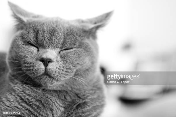 2 175 British Shorthair Cat Photos And Premium High Res Pictures Getty Images