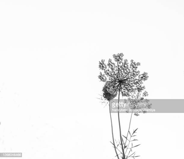 black and white close up of queen anne's lace flower - affectionate stock pictures, royalty-free photos & images