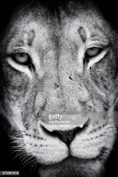 black and white close-up of a lion face portrait artistic conversion - kgalagadi transfronteer park south africa - dark panthera stock pictures, royalty-free photos & images