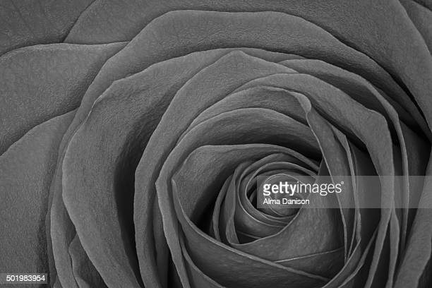 black and white close-up shot of red rose - alma danison stock photos and pictures