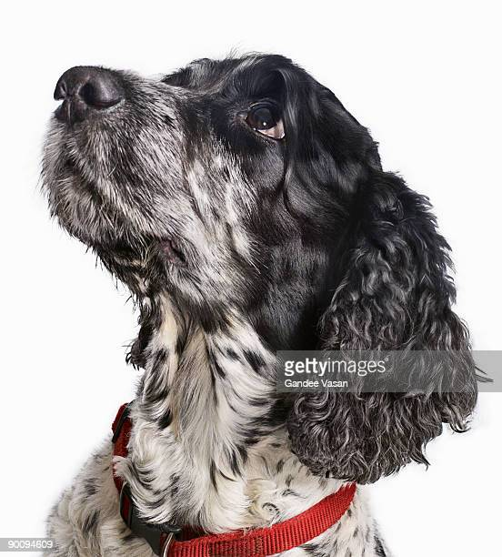 black and white cocker spaniel looking up - cocker spaniel stock photos and pictures