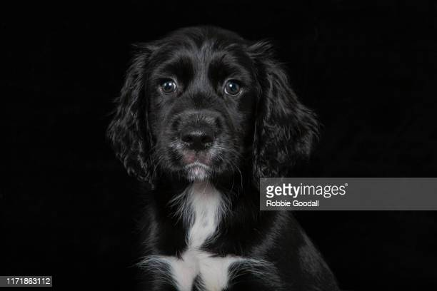 black and white cocker spaniel puppy looking at the camera on a black backdrop - cocker spaniel stock pictures, royalty-free photos & images