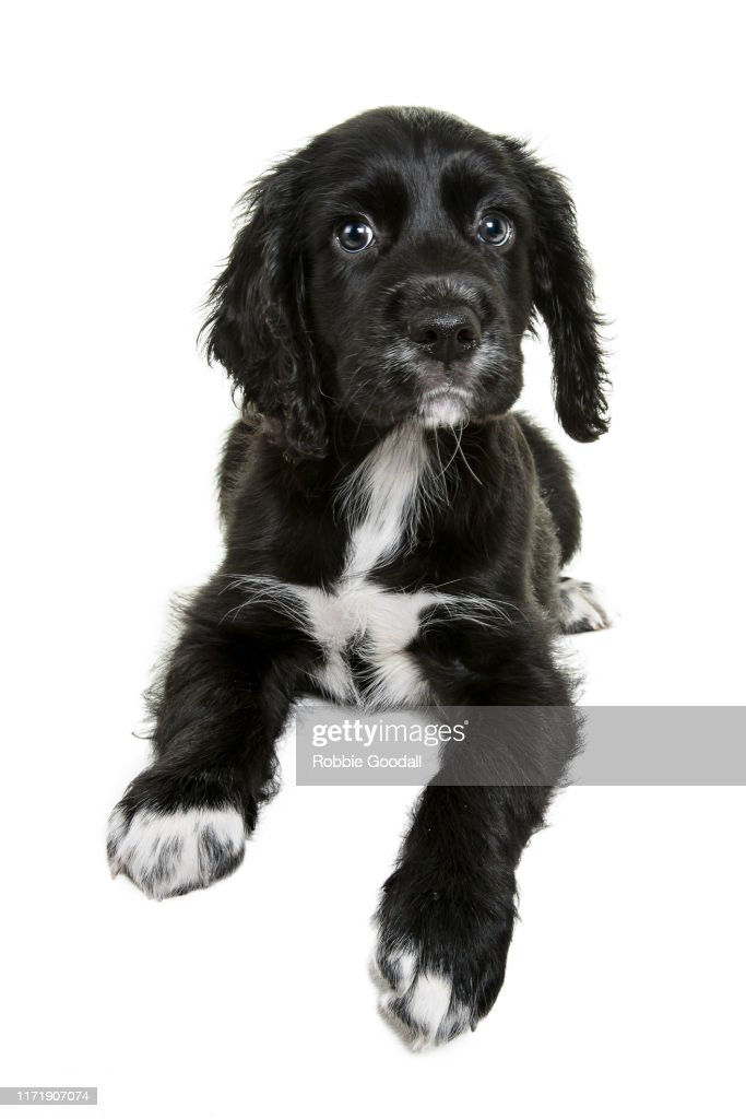Black And White Cocker Spaniel Puppy Looking At The Camera On A White Backdrop High Res Stock Photo Getty Images